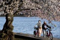 снимка 3 Японските вишни във Вашингтон цъфнаха (Снимки)