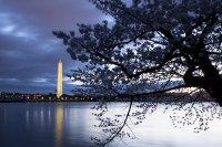 снимка 11 Японските вишни във Вашингтон цъфнаха (Снимки)