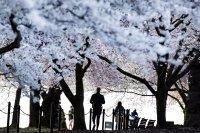 снимка 9 Японските вишни във Вашингтон цъфнаха (Снимки)