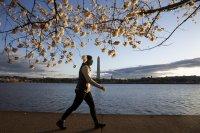 снимка 6 Японските вишни във Вашингтон цъфнаха (Снимки)