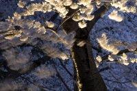 снимка 13 Японските вишни във Вашингтон цъфнаха (Снимки)
