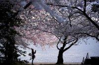 снимка 7 Японските вишни във Вашингтон цъфнаха (Снимки)