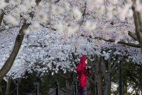 снимка 5 Японските вишни във Вашингтон цъфнаха (Снимки)