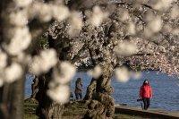 снимка 4 Японските вишни във Вашингтон цъфнаха (Снимки)