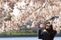 снимка 1 Японските вишни във Вашингтон цъфнаха (Снимки)