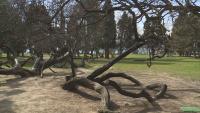 Заградиха емблематично дърво във Варна заради изложба. Хората недоволстват