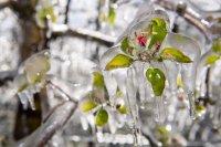 """На пауза: """"Ледени дрехи"""" за овошките в Швейцария срещу ...измръзване (Снимки)"""