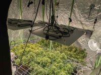 Младеж в Бургас отглеждал марихуана в палатка в хола си