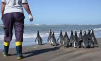12 магеланови пингвина бяха пуснати на свобода