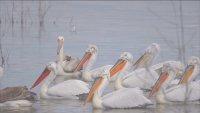 """Излюпиха се първите малки на къдроглавите пеликани в резервата """"Сребърна"""""""