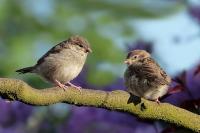 Броят врабчетата: Липсата им говори за шумна среда