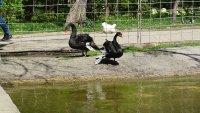 """Два черни лебеда са новите обитатели на езерото в парк """"Бачиново"""" (Снимки)"""
