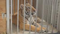 Откриха изчезнал тигър беглец в Хюстън