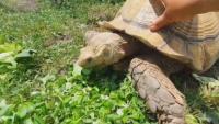 Най-голямата костенурка на Балканите живее в Бургаския зоопарк