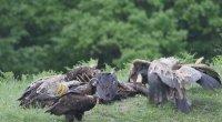 Защитен черен лешояд е отровен край Добринище