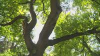 Над 1000 дървета в София вече са отбелязани на нова дигитална карта