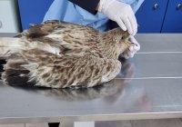 Спасиха ранен Царски орел в Бургаско