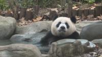 Откриха Музей на пандата в Съчуан