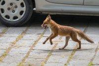 Музикант засне свободно разхождаща се лисица в Пловдив (Снимки)
