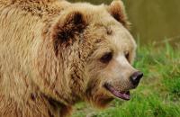 Как се оцелява след близка среща с мечка