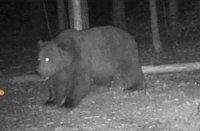Безопасен ли е районът след нападението на жена от мечка в Белица?