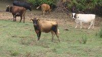 Задържаха трима животновъди заради злоупотреби с евросредства