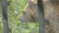 Каква ще бъде съдбата на мечката - нападател край Белица?