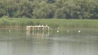 """Къдроглави пеликани се завърнаха в парк """"Персина"""" край Белене"""