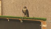 Най-бързата птица в света гостува в Бургас