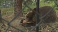Ледени близалки разхлаждат мечките от парка в Белица