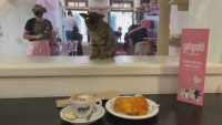 На кафе с котка в Бразилия с цел търсене на осиновители