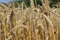Добивите от есенниците в Добричко се вдигат с напредването на жътвата