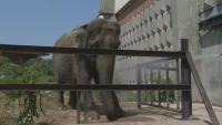 Жега и в столичния зоопарк: Къпят слоницата Артайда, за да я разхладят (ВИДЕО)