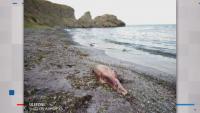 Труп на делфин изплува на плаж край Приморско