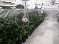 Разбиха голяма оранжерия за марихуана в Пазарджишко