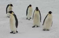 Императорските пингвини - на изчезване?
