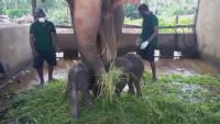 Слончета близнаци се родиха в Шри Ланка за първи път от 80 години