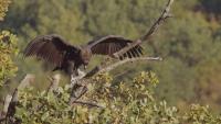 Черен лешояд отново гнезди успешно в България