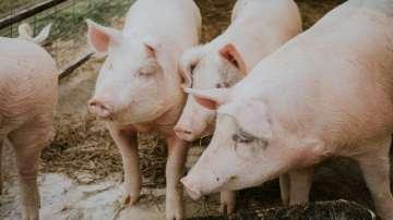 Откриха Африканска чума по свинете в лично стопанство в Съединение