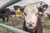 Липсват 2/3 от животните в софийски ферми, кандидатствали за субсидии